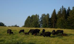Stádo krav